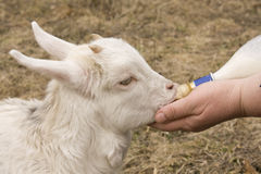 Las alimentaciones de mano femeninas una pequeña cabra Fotografía de archivo
