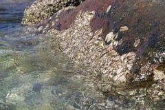 Las almejas se pegaron a las rocas en agua de mar clara Fotos de archivo