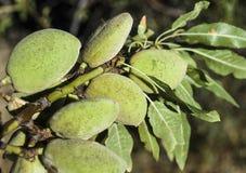 Las almendras en el árbol, almendras naturales, almendras comenzaron a madurarse, fruta de la almendra en el árbol, Fotografía de archivo