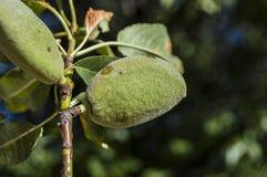 Las almendras en el árbol, almendras naturales, almendras comenzaron a madurarse, fruta de la almendra en el árbol, Fotos de archivo