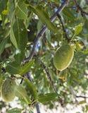 Las almendras en el árbol, almendras naturales, almendras comenzaron a madurarse, fruta de la almendra en el árbol, Foto de archivo libre de regalías