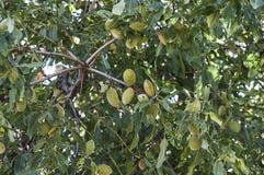 Las almendras en el árbol, almendras naturales, almendras comenzaron a madurarse, fruta de la almendra en el árbol, Imágenes de archivo libres de regalías