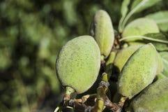 Las almendras en el árbol, almendras naturales, almendras comenzaron a madurarse, fruta de la almendra en el árbol, Imagen de archivo libre de regalías
