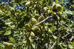 Las almendras en el árbol, almendras naturales, almendras comenzaron a madurarse, fruta de la almendra en el árbol, Fotos de archivo libres de regalías