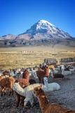 Las alpacas cultivan, volcán en el fondo, Bolivia de Sajama Fotos de archivo