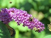 Las altos abejas y monarca del parque de Toronto en un buddleja florecen 2017 Imagen de archivo libre de regalías