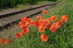 Las amapolas de campo rojas crecen en la hierba verde, mañana Foto de archivo libre de regalías