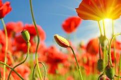 Las amapolas hermosas florecen y los brotes en medio de campos de la amapola Fotos de archivo