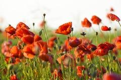 Las amapolas hermosas que florecen en el verano colocan en Polonia imagen de archivo