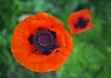 Las amapolas a largo plazo grandes florecientes Fotografía de archivo libre de regalías