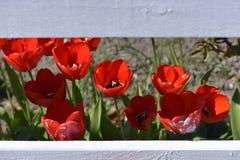 Las amapolas rojas foto de archivo