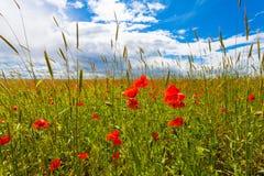 Las amapolas rojas de las flores florecen en campo salvaje verde en el mayo con el cielo azul y las nubes Foto de archivo libre de regalías