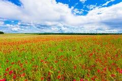 Las amapolas rojas de las flores florecen en campo salvaje verde en el mayo con el cielo azul y las nubes Fotografía de archivo