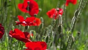 Las amapolas rojas y otras flores se mueven en brisa de la primavera en campo del flor almacen de video