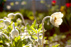 Las anémonas de la primavera en el jardín Fotografía de archivo libre de regalías