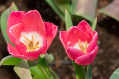 Las anteras del tulipán con los granos del polen del tulipán rosado florecen Imágenes de archivo libres de regalías