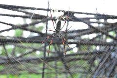 Las arañas del plátano o los orbe-tejedores de oro viven en un área más caliente en el árbol grande imagenes de archivo