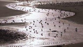 Las aves costeras se excitan al baño y a Hunt Ocean Tide Surf almacen de metraje de vídeo