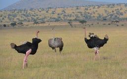 Las avestruces hacen una danza de acoplamiento para una hembra Foto de archivo