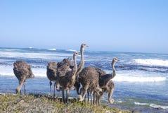 Las avestruces que pastan por el mar en el cabo señalan el primer Fotografía de archivo