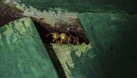 Las avispas son masculinas Las avispas están mirando a escondidas del agujero Polist de las avispas Imagen de archivo
