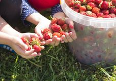 Las ayudas de los niños para recoger la fresa en el jardín Imagen de archivo