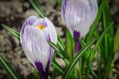 Las azafranes de la primavera Imagen de archivo