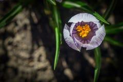 Las azafranes de la primavera Imagenes de archivo