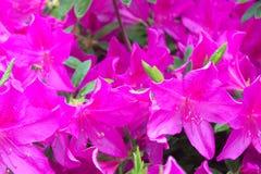 Las azaleas rosadas hermosas atraen una abeja ocupada Fotos de archivo libres de regalías