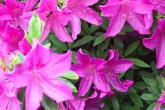 Las azaleas rosadas hermosas atraen una abeja ocupada Imágenes de archivo libres de regalías