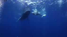 Las ballenas jorobadas miman y becerro en agua de mar azul almacen de video
