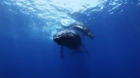 Las ballenas jorobadas miman y becerro en agua de mar azul metrajes