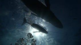 Las ballenas jorobadas miman y becerro en agua de mar azul almacen de metraje de vídeo