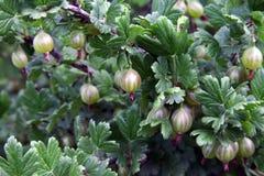 Las bayas de la grosella espinosa apilan el crecimiento en una rama de un arbusto Fotografía de archivo