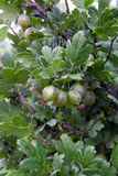 Las bayas de la grosella espinosa apilan el crecimiento en una rama de un arbusto Fotos de archivo