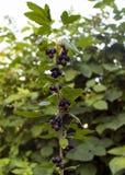 las bayas de la grosella negra cuelgan en una rama en el jardín Baya sabrosa fotografía de archivo