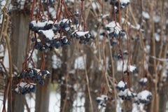 las bayas de la uva virginal debajo de la nieve, vid de uva congelada al aire libre, fondo del invierno foto de archivo