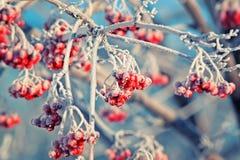 Las bayas de serbal congeladas rojas cubiertas con la escarcha blanca en invierno parquean imagen de archivo libre de regalías
