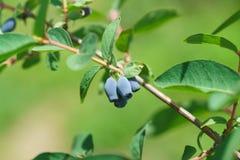 Las bayas del lat comestible de la madreselva Caerulea del Lonicera en una rama con las hojas fotografía de archivo libre de regalías