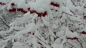 Las bayas del viburnum se cubren con nieve metrajes