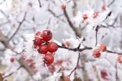 Las bayas escarchadas del espino en snowlakes ramifican con nieve Imagen de archivo libre de regalías