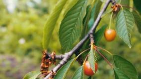 Las bayas inmaduras son cerezas todavía verdes en árbol almacen de metraje de vídeo