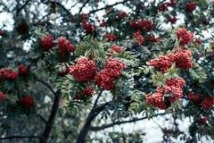 Las bayas maduras de la ceniza de montaña, crecen en un árbol, bayas rojas del otoño, primer, estilo del vintage en parque Foto de archivo libre de regalías