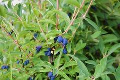 Las bayas maduras en madreselva forran caerulea del Lonicera en jardín Foto de archivo