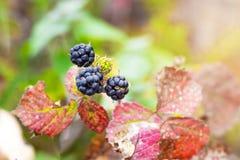 Las bayas negras son zarzamora entre las hojas de otoño rojas en el garden_ fotos de archivo