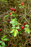 Las bayas rojas de los escaramujos medicinales, Bush color de rosa salvaje crecen el rasgón Imagenes de archivo