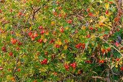 Las bayas rojas de los escaramujos medicinales, Bush color de rosa salvaje producen los escaramujos maduros Foto de archivo
