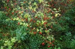 Las bayas rojas de los escaramujos medicinales, Bush color de rosa salvaje producen los escaramujos maduros Imagenes de archivo