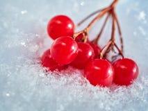 Las bayas rojas de una guelder-rosa con la primera nieve Foto de archivo