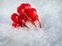 Las bayas rojas de una guelder-rosa con la primera nieve Fotos de archivo